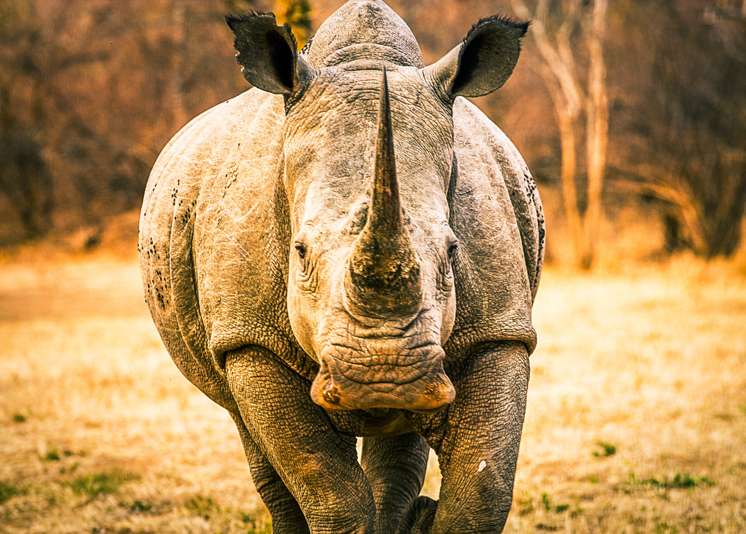 white rhino, kruger, south africa